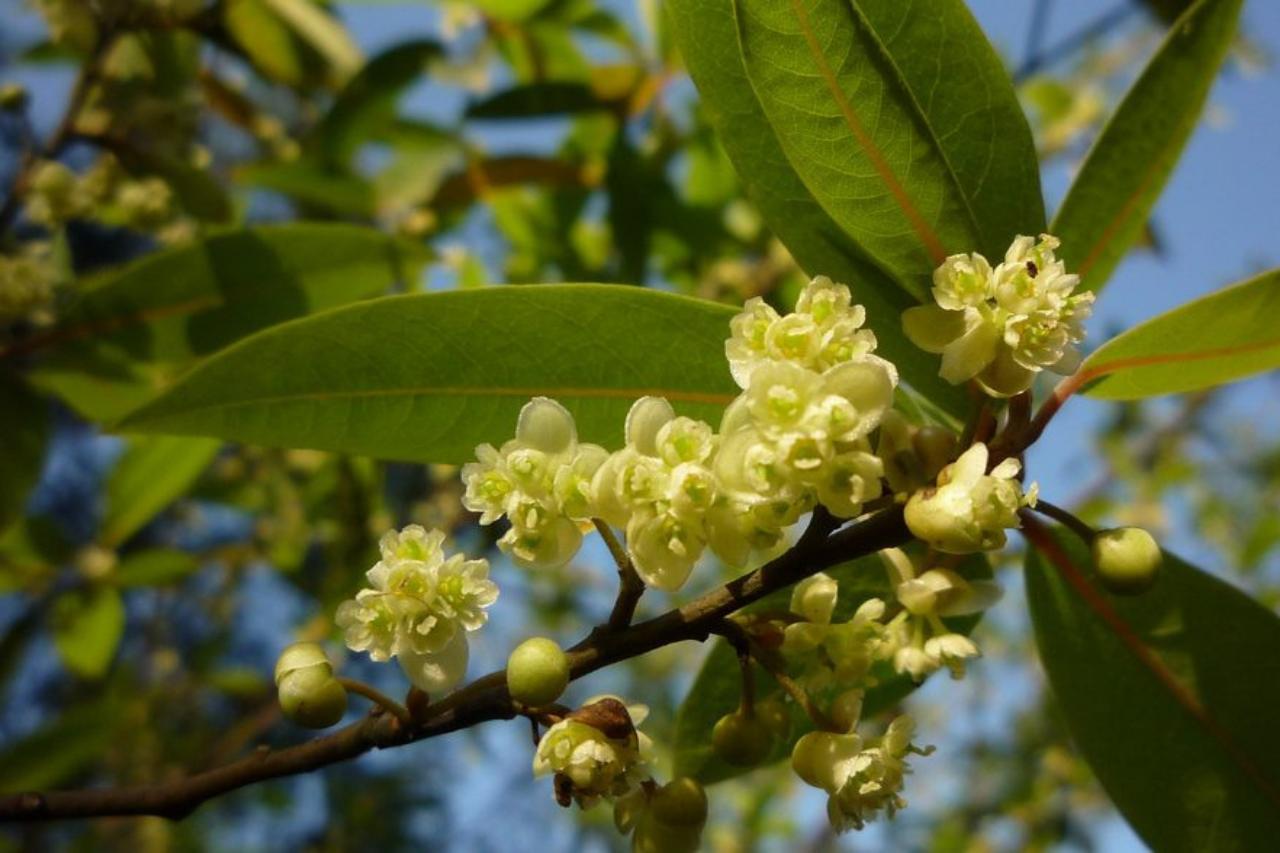 ¿Has probado el aceite esencial de Verbena Exótica?